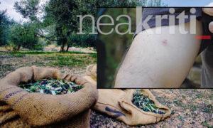 Κρήτη: Ένα ολόκληρο χωριό... έπαθε αλλεργία κατά την ελαιοσυγκομιδή - Τι συνέβη