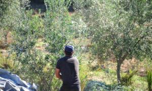 Lockdown: Χωρίς περιορισμούς το μάζεμα της ελιάς – Τα απαραίτητα έγγραφα