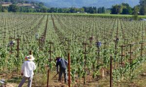 Murphy Good Winery: Πληρώνει 10.000 δολάρια το μήνα και προσφέρει δωρεάν διαμονή στον αμπελώνα